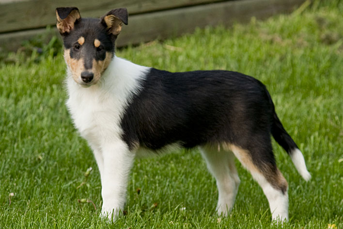 Collie Blog Do Cachorro
