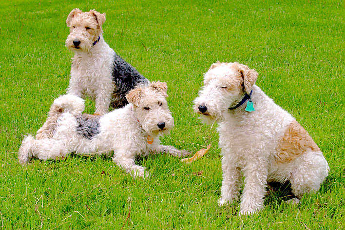 Outros cães terriers White Parson Russell Terrier