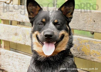 Raça Australian Cattle Dog