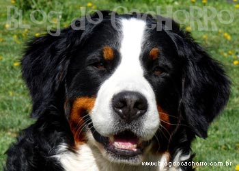 Raça Bernese Mountain Dog