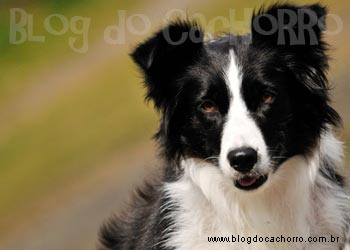 Raça Border Collie