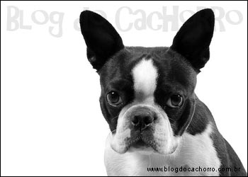 Raça Boston Terrier