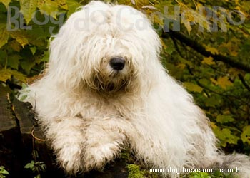 Raça Old English Sheepdog