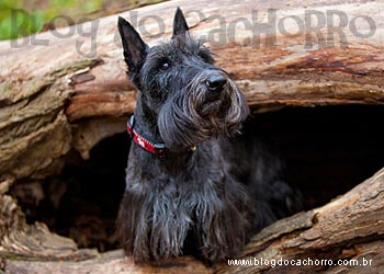 Raça Scottish Terrier